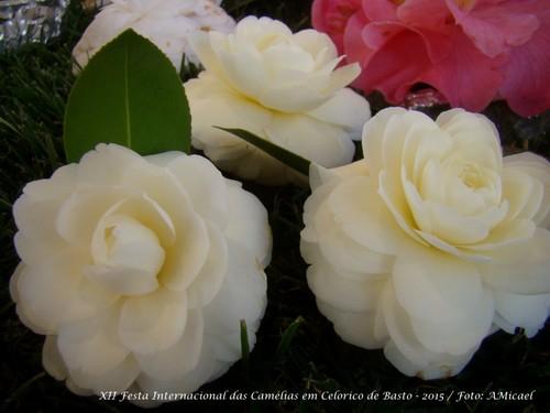 11.1 - Festa Internacional das Camélias em Celori
