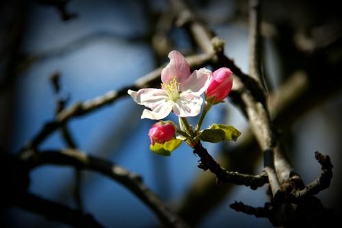 flor macieira.jpg