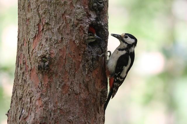 great-spotted-woodpecker-2060019_640.jpg