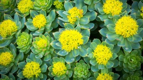rhodiola-rosea-1296x728.jpg
