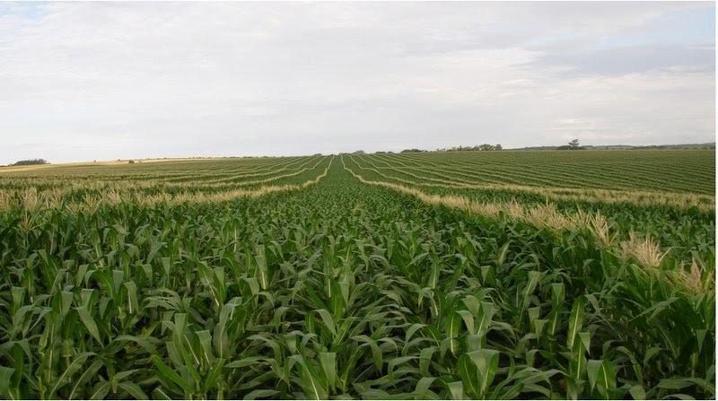milho - campo de produção da sementes.jpg
