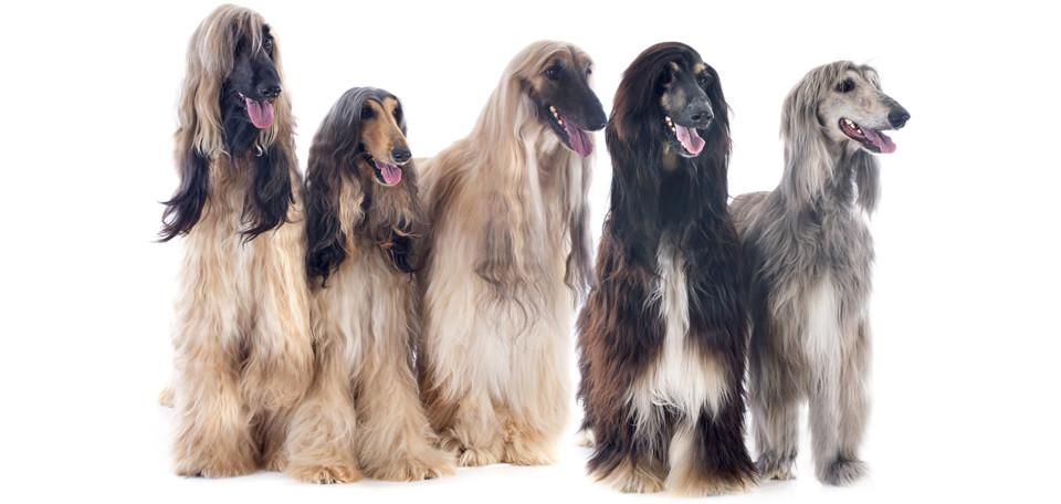 Afghan-hound-SPDR-150648257.jpg