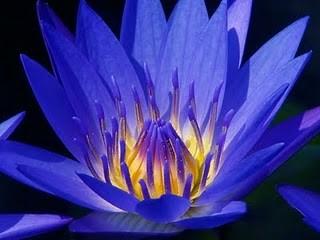 Lótus azul