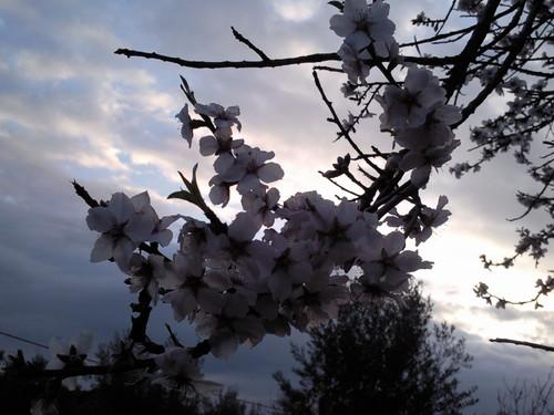 Amendoeira Foto original DAPL.jpg