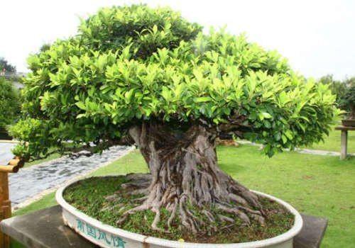 ficus benghalensis.jpg