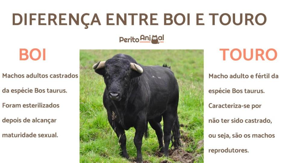 diferenca_entre_boi_e_touro_23189_orig.jpg