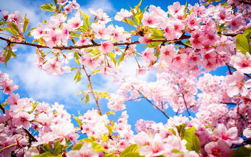 cherry-blossom-spring1.jpg