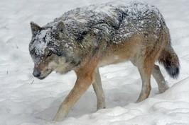 wolf-1955518_960_720.jpg
