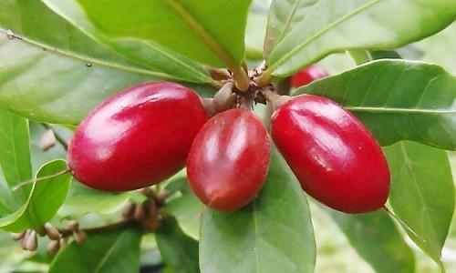 fruta milagrosa.jpg