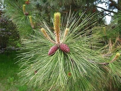 1024px-Pinus_ponderosa_subsp._ponderosa_cones_and_
