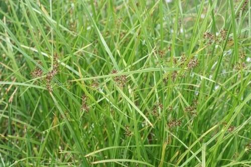 multiflora-fernandopolis-tiririca-suco-do-crescime