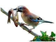 Pássaro com peixe.png
