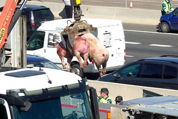 Morte de porquinhos.jpg