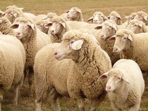 sheep_herd.jpg
