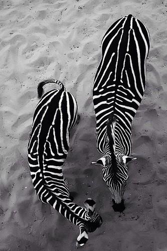 zebra1.jpg
