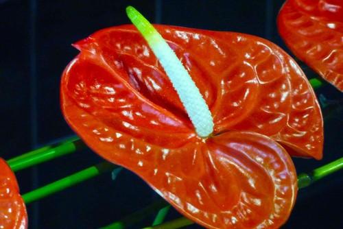 VermelhoErectusWeb.jpg