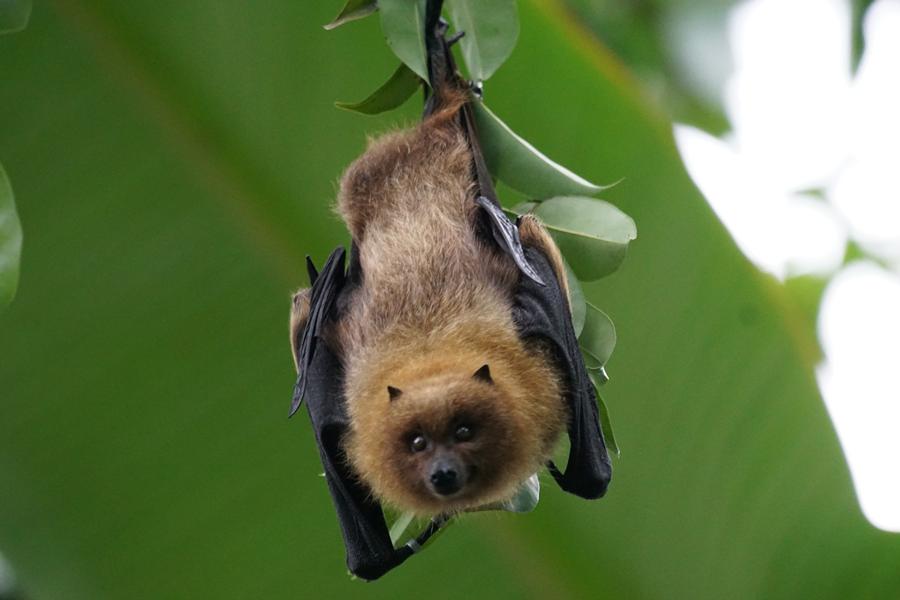 beneficios-morcegos-natgeo-polinizadores3.png