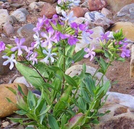 25-semente-saponaria-officinalis-planta-erva-sabo-