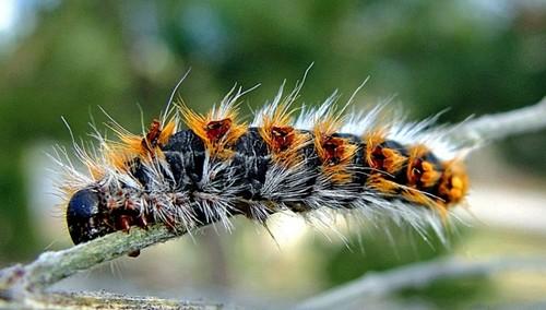 lagarta-pinheiro.jpg