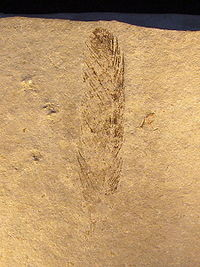 Archaeopteryx (Feather) In wikipedia.jpg