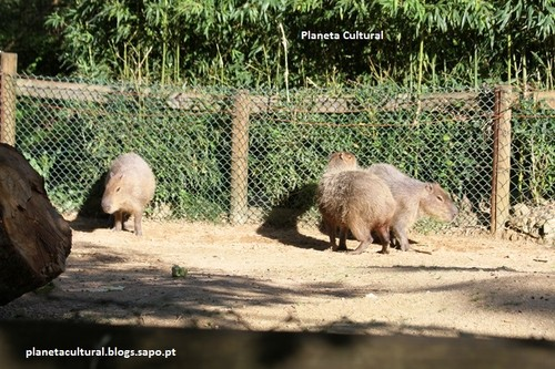 Tapir Sul-americano.jpg