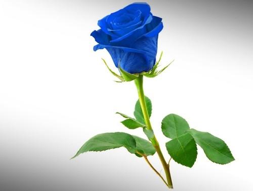 Rosa-Azul-Linda.jpg