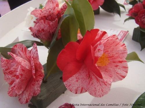 13 - XIII Festa Internacional das Camélias - Celo