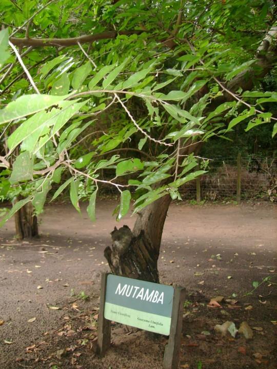 mutamba árvore.JPG