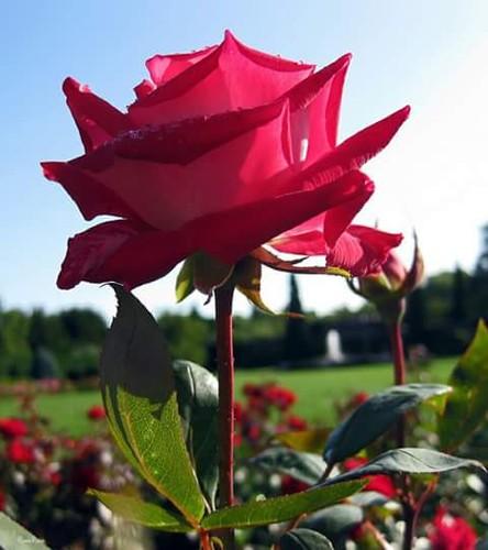 Uma rosa.jpg