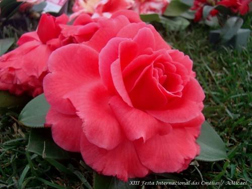 14 - XIII Festa Internacional das Camélias - Celo