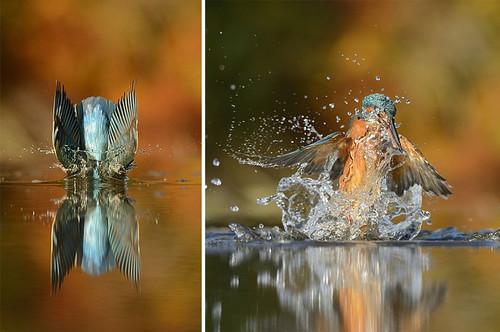 perfect-kingfisher-dive-photo-wildlife-photography