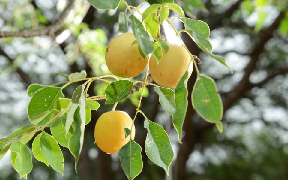 Marula-Fruit-1.jpg