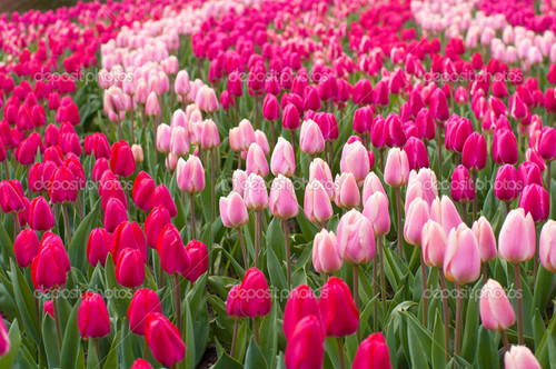 Field-of-tulips.jpg
