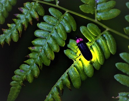 firefly-lightning-bug.jpg