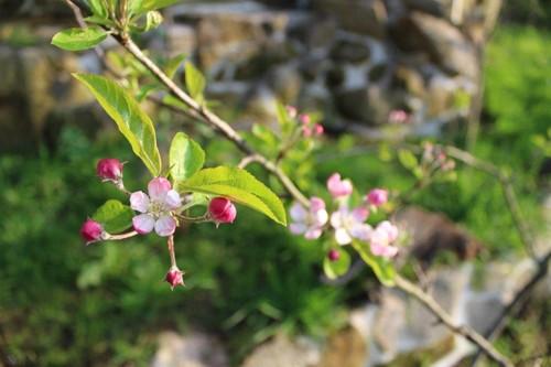 7_A2C_Macieira em Flor.jpg
