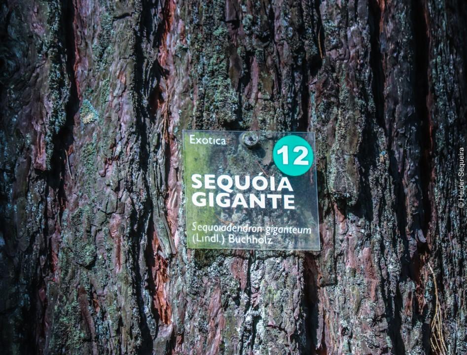 Sequoia - HS.jpg