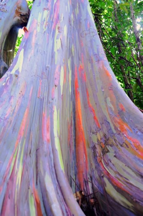 eucalyptus deglupta_07.jpg