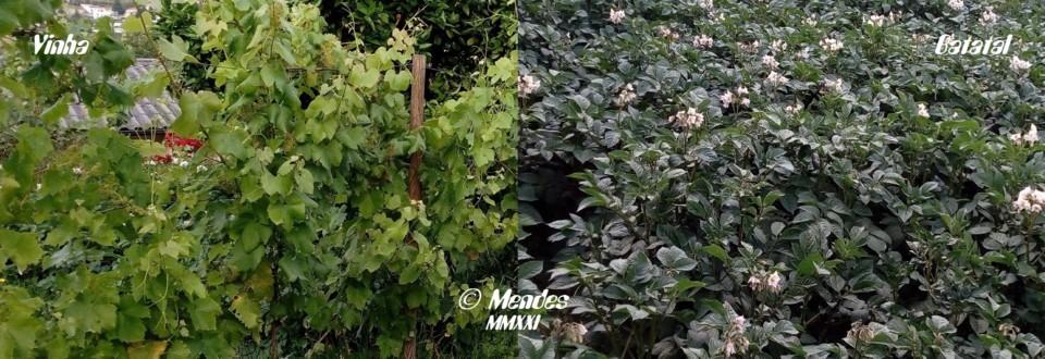 Cerva - Vinha e Batatal - Antes da tempestade.