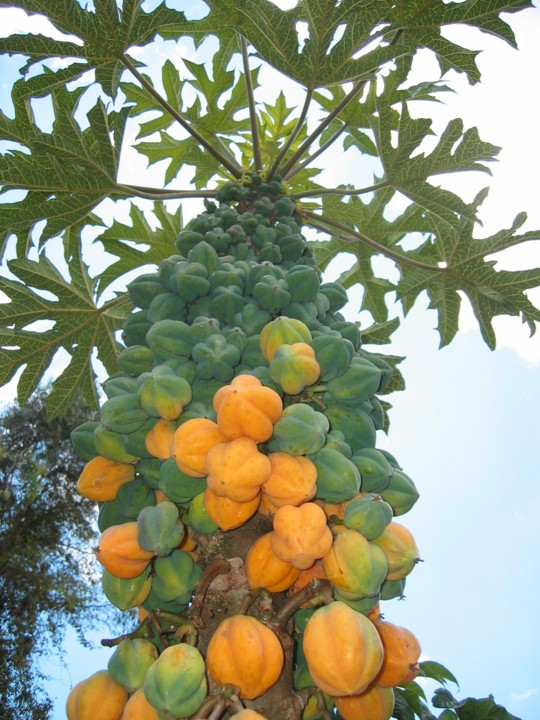 papaya-de-montana-.jpg