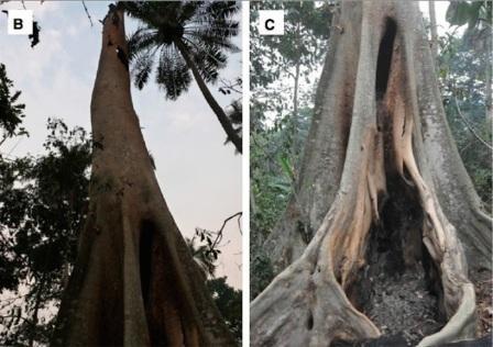 Hollow-Tree-Bats-Ebola-2.jpg