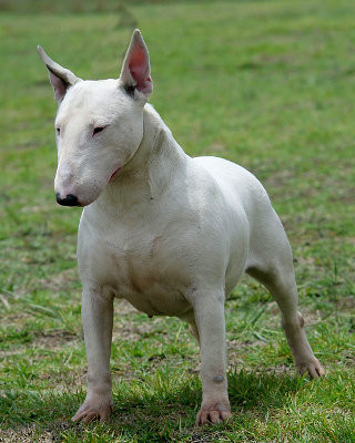 Blogue_BullTerrier_p.jpg