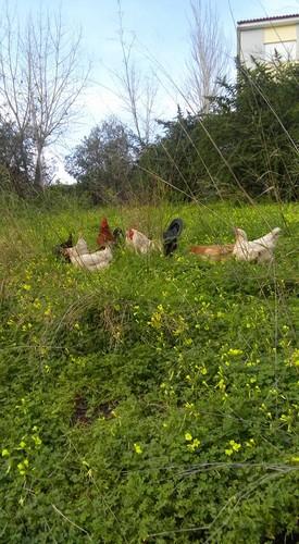 galinhas manuela ruivo.jpg