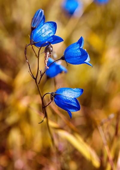 round-leaved-bellflower.jpg