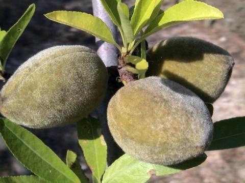 amendoas-verdes-p.jpg