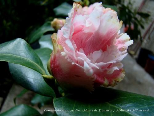 3 - C Japonica Cinderella - 800.jpg