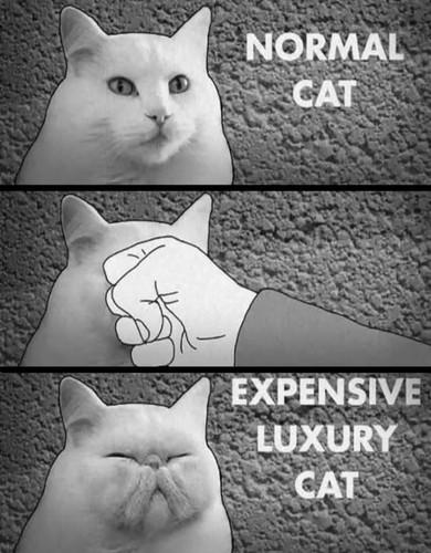 luxurycat.jpg