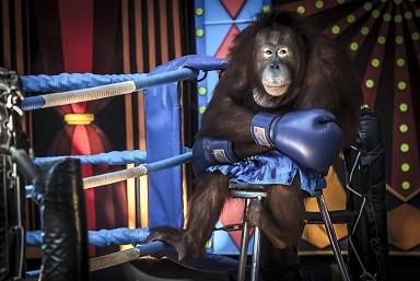 orangutan-boxer-bangkok-thailand_48475566601_o.jpg