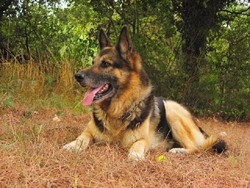 Cão de guarda e defesa