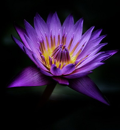 lotus-4510962_960_720.jpg