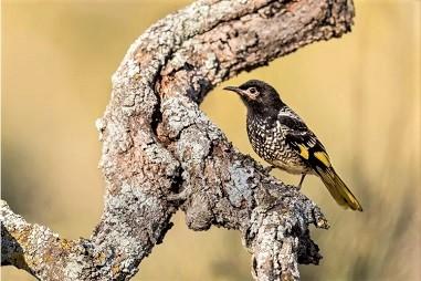 Screenshot_2021-03-17 Este pássaro australiano es